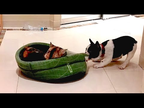 Thumbnail for Cat Video Puppy Reclaims His Bed From Cat (Part 2)