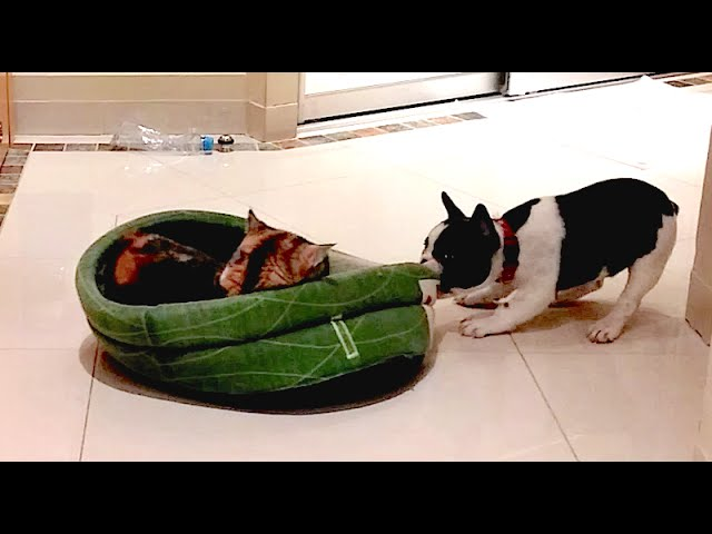 French Bulldog Puppy Gets His Bed Back (Pixel's Revenge)