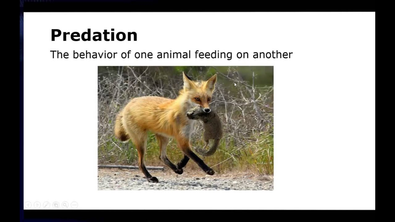 predation ecological relationship between wolf