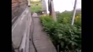 Собака несет кота домой