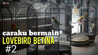 Download lagu LOVEBIRD BETINA MINOR : CARAKU PROSES LOVEBIRD BETINA