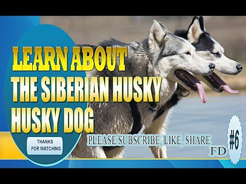 Learn about the Siberian Husky - Husky Dog - FD 06