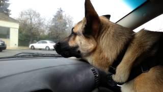 German Shepherd Ronin Barking At Strangers