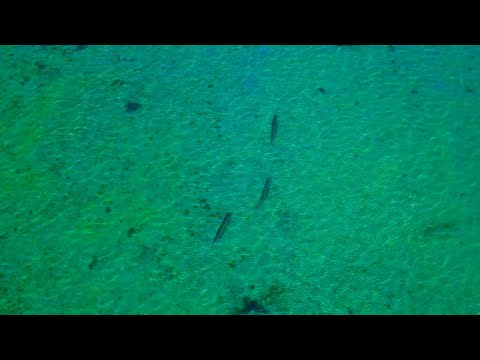 Sight Casting a Pelagic Fish in 4 Ft of Water
