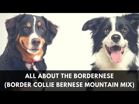 All About The Bordernese (The Border Collie Bernese Mountain Mix)