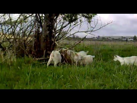 Сколько коз держать семье