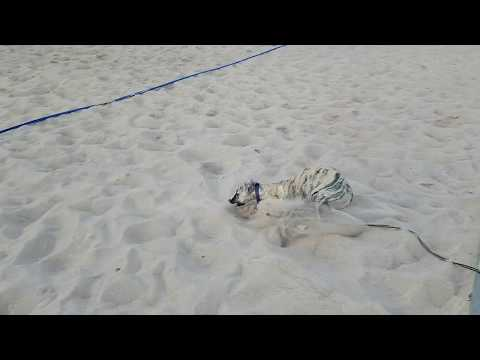 Whippet puppy loves sand