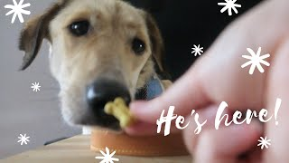 Adopting A Romanian Rescue Dog / Max Arrives And His First Day At Home / Part 2 / Chloe Pedlow