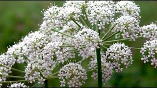 Растение Бедренец камнеломка (Pimpinella saxifraga). Полезные рецепты