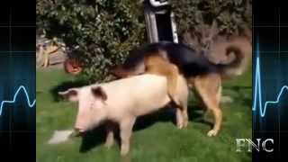 Dog vs Pig Mating Compilation by Funny Animals