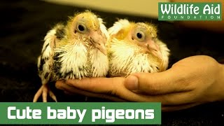 Baby pigeons rescued from sure death