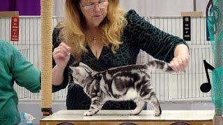 CFA International Show 2019  American Shorthair Kitten Class Judging
