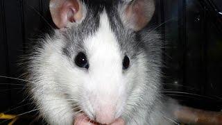 Домашняя крыса хаски - красавчик.