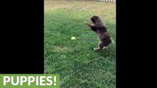 Australian Shepherd puppy pounces on tennis ball