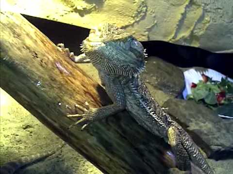 Brumation In Bearded Dragons Is My Dragon How Old Should Be For What Months Do