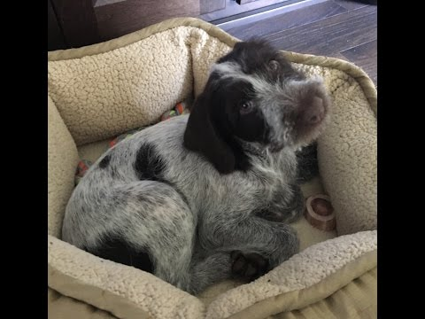 Our nine week old German wirehaired puppy! Tilly's first week…Dogumentation part II