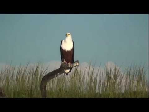 African Fish Eagle on the Chobe River - Botswana