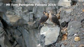 Mt Tom Peregrine Falcons 2016