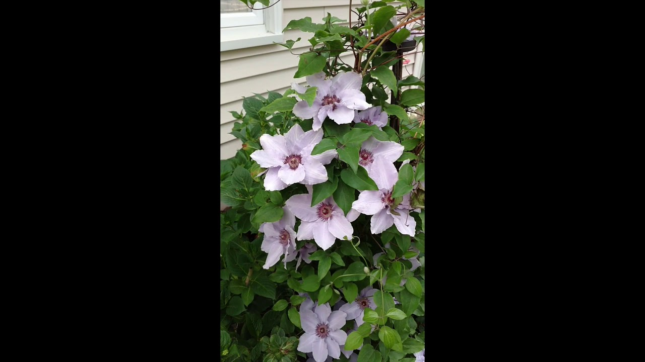 """Still Waters ™ Clematis Proven Winners 4/"""" Pot"""