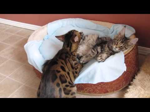Bengal cat gives bath to maine coon kitten