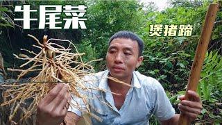 農村有一種植物叫牛尾菜,它的根須可以煲豬蹄,一起來認知一下