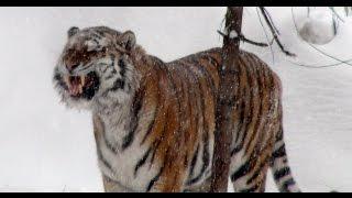 Нападение тигра на человека, и браконьеров на тигров, или Липовые тигры