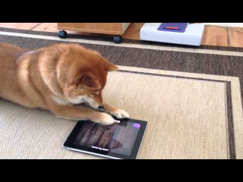 Shiba Inu playing on the iPad