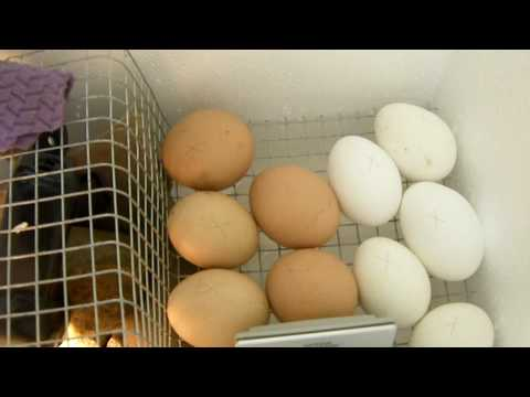 automatic egg turner instructions