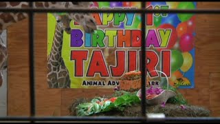 April The Giraffe\'s Baby Tajiri Celebrates First Birthday
