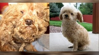 After 10 Years Of Hair Is Shaved, Two-legged Poodle Looks Unrecognizable