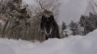 Wolfdog Tries to Steal GoPro