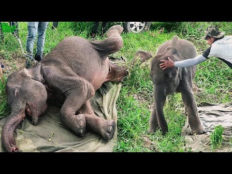 Saving a young elephant from one of the smallest predators