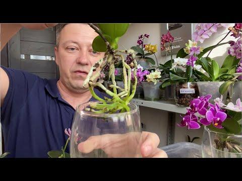 ПОЛИВ ОРХИДЕИ РЕЖЕ (весной-летом) при такой пересадки орхидей 05.04.2020