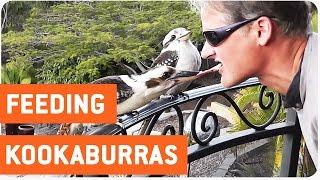 Feeding Kookaburras | Bird Got Your Tongue