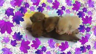 Новорожденные котята породы Бурма//Питомник бурм Arctic Silk