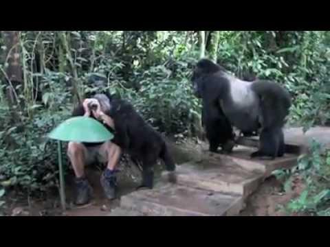 Watch real mountain gorillas in Uganda