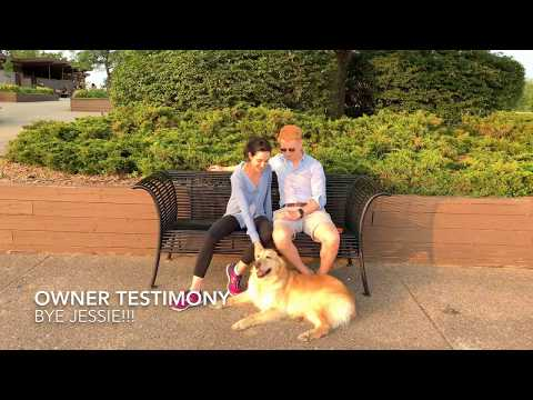 Golden Retriever 'Jessie' l Obedience Transformation l MI Dog Training