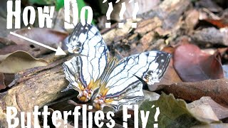 Exploring Invertebrates - How Do Butterflies Fly