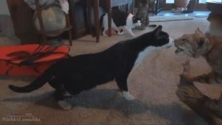 Приколы с котами 2016 коты трусы пугливые новые подборки Которолик выпуск  смешные коты