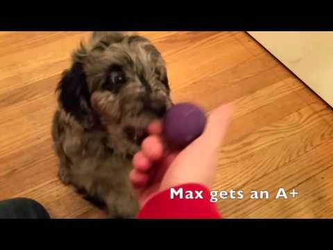 AussieDoodles Fetching a ball At 7 Weeks Old