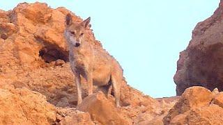 Wolf Vs. Ibex kid, Wolf predating on Ibex kids in Ein Gedi, זאב טורף גדי יעלים