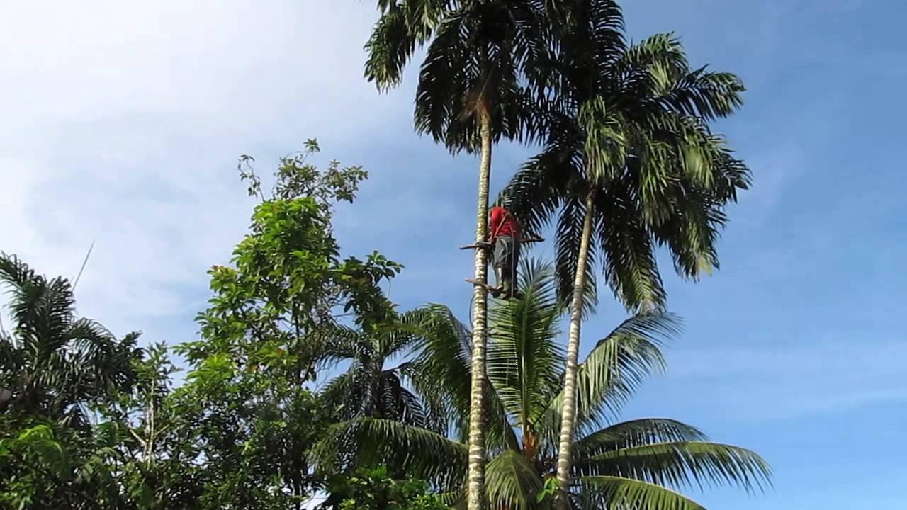 Image result for pejibaye palm