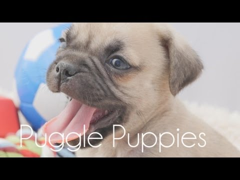 Cute Puggle puppies!!