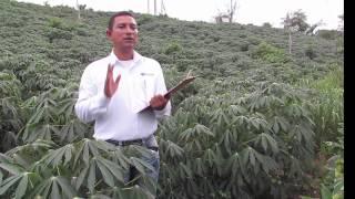 produccion de la yuca