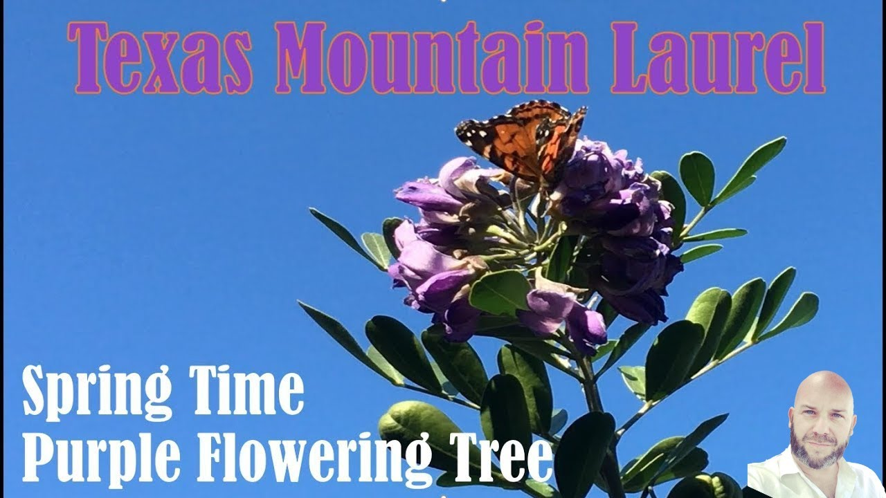 Mountain Laurel Purple Flower Tree Spring In Central Texas Youtube