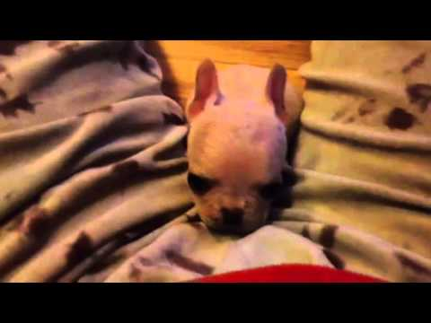 mini teacup french bulldog puppies for sale in los angeles area