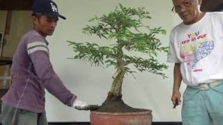The split trunk Tamarind is being re-potted in this video to a not ...