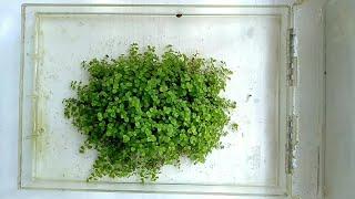Химеантус куба выращивание на суше/Chimeanthus cube cultivation on land