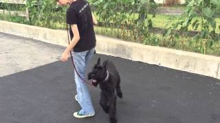 "8 Month Old Giant Schnauzer ""garrett"" Obedience Trained Dog For Sale"