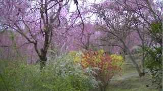 2013年4月の原谷苑の艶やかな桜と花の風景です。満開少し前でしたが、艶...